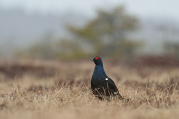 Black grouse in the snowfall