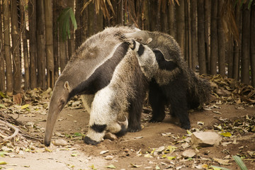 Giant Anteat and baby