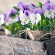 Purple spring violets
