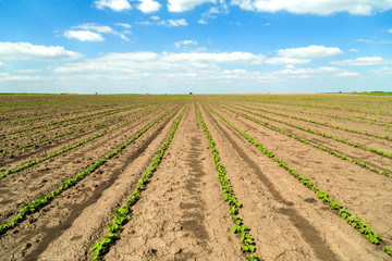 Green soybean field in early stage