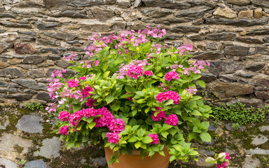 Pot of vivid pink hydrangeas against an ancient stone wall in a