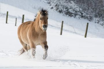 Pferd läuft durch den Schnee