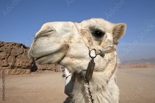 Foto op Aluminium Kameel Camel Portrait