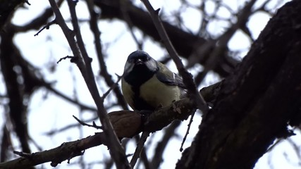 Tit eating a nut