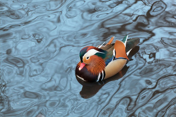 Mandarin duck floats in a pond in winter day