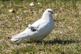 White rock feral pigeon doves resting on winter park meadow poster