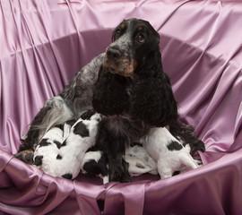 English Cocker Spaniel Puppies Nursing.