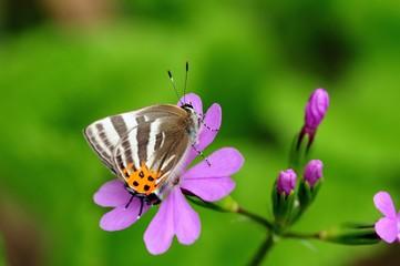サクラソウの花の蜜を吸う蝶