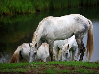Horses grazing in river valley