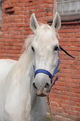 Andalusian horse in stud farm
