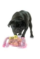 eating black pug