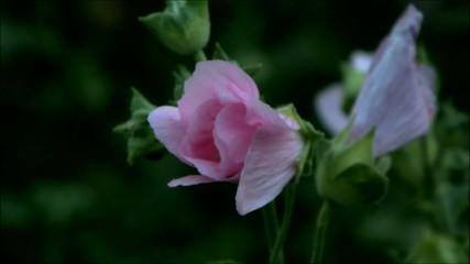 Цветок закрывается на ночь