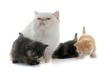 persian kitten and adult