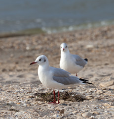 Seagulls on sea beach