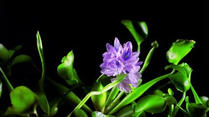 Blooming water hyacinth flower. Timelapse
