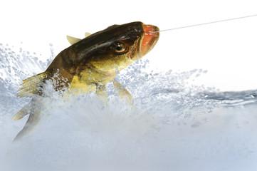 Fische 61