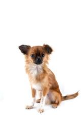 Little dog Chihuahua