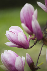magnolia blooming  on tree