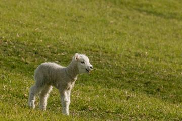 bleating newborn lamb