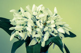 snowdrops retro effect