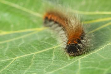 Furry pest caterpillar