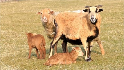 spring, two ewe and two lamb, brown, meadow
