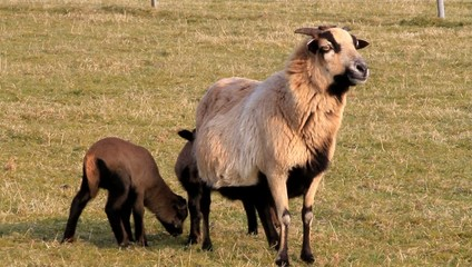 spring, ewe,  sheep with her lambs, brown, outside