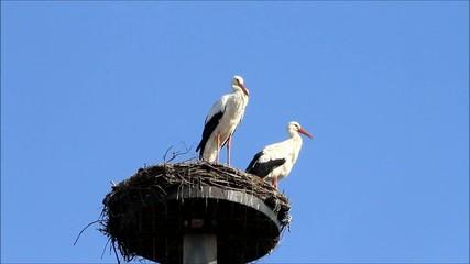 storks, pair, nest, springtime, blue sky, space