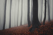 mysterious foggy forest with red leaves on ground