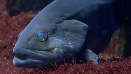 aquarium of genoa, a grouper close up