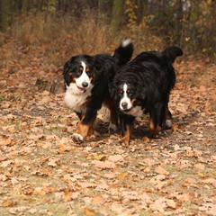 Beautiful bernese mountain dogs running