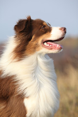 Amazing beautiful australian shepherd
