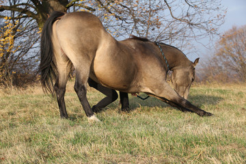 Quarter horse making a bow