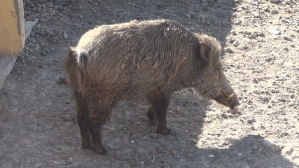 the boar from the zoo shakes off from dirt and dust
