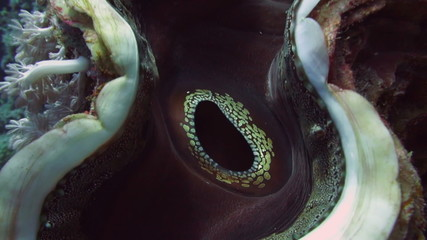 Coral scallop (Pedum spondyloideum)