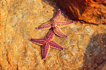 Northern Pacific seastar (Asterias amurensis) in Japan