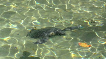 Turtle swimming in shallow water