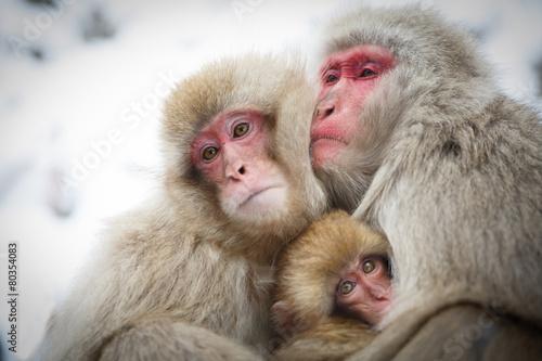Foto op Canvas Aap 厳冬に耐え子どもを守り寄り添う猿の家族