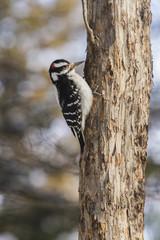 A lone woodpecker