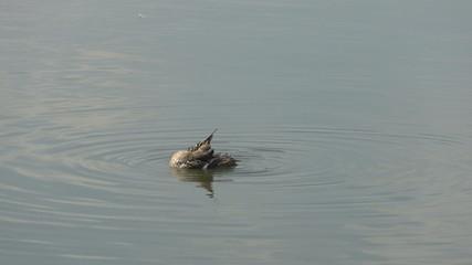 female mallard duck 002
