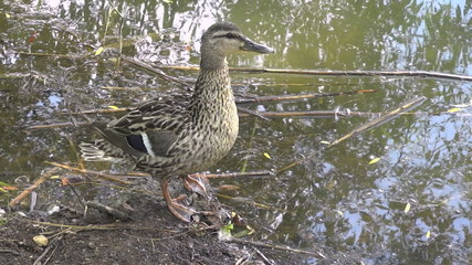 female mallard duck 001