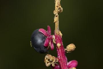 Berry in the garden