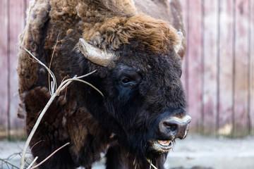 Brown belarusian bizon