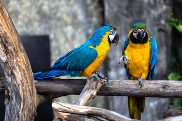 Two playing parrots in love