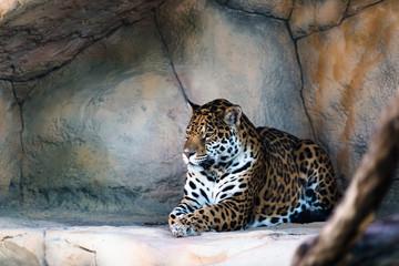 Leopard lying in the shadow