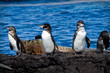 Group of penguins on a rock in the Galapagos Islands - 80362498