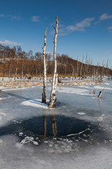 Dead trees stick out of the frozen swamp