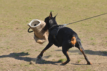Doberman Pinscher in training