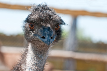 Emu at a Zoo
