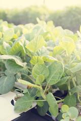 vegetable at farm